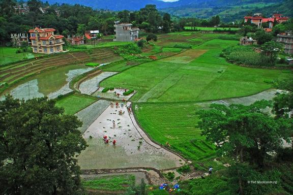 rice-field-planting-scene